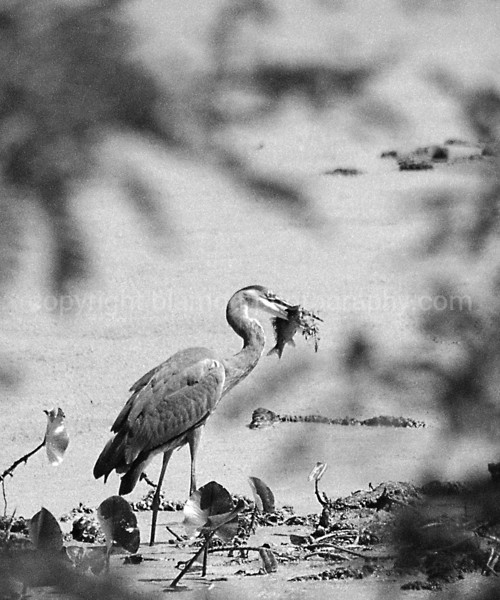 "Lunchtime #3 Series...""The Catch""...Great Blue Heron with a Crappie or Perch in beak, I say Crappie... Shot @ John Heinz Wildlife Refuge, Pa."