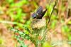 Black Swallowtail butterfly, Asssateague NWR, VA