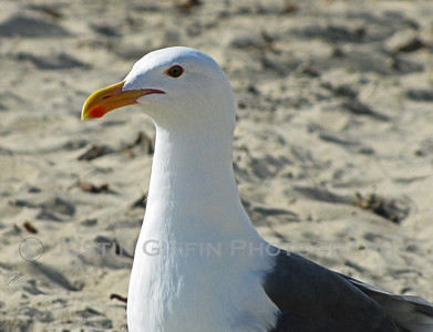 Seagull. Pacific Beach, CA