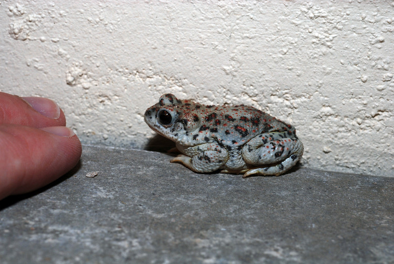 Another photo of the red-spotted toad, with two of my fingers to show scale.