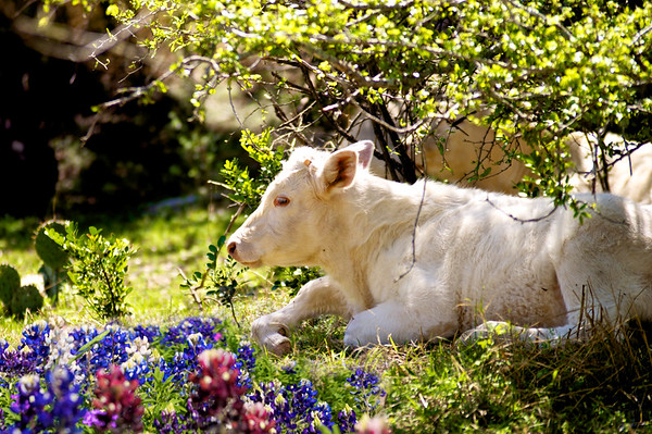 Bluebonnet Cow