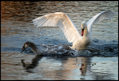 "Beautiful adult swan and cygnet (""teenager"") at Takanassee Lake in Long Branch."