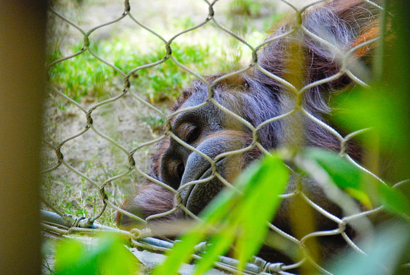 Sad-looking Orangutan at the Los Angeles Zoo