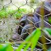 Sad-looking Orangutan at the Los Angeles Zoo