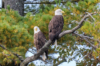 Spirit river eagle pair