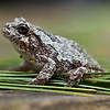 this little gray tree frog has taken up residence with another much larger frog in our old grill cover that we keep on the deck just for the frogs. We are nuts.   This one is about 3/4 of an inch.  Shot w/the OM 90mm macro, probably f4.