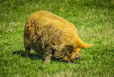 3-27-2020: A hairy pig
