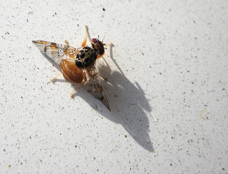 Cool fly on my car which I should have washed, apparently.