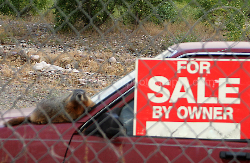 Marty the Marmot...best used car salesman in Mt.