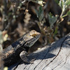 Desert spiny lizard in Saguaro NP, Tucson.