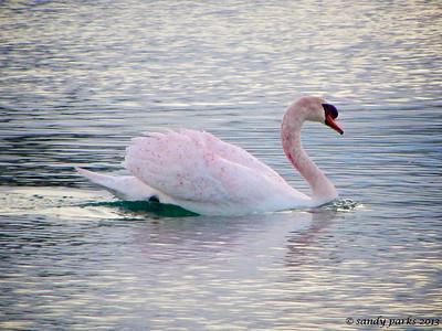 2-12-13: Red swan, Silver Lake