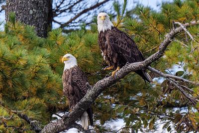 Local eagle pair