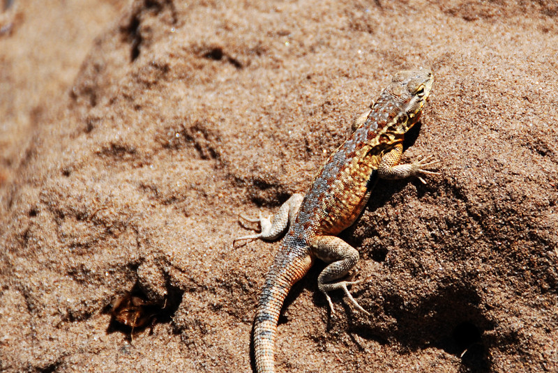 Lizard crawling through the sand at Point Dume State Beach in Malibu, CA.