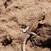 Lizard crawling through the sand at Point Dume State Beach in Malibu, CA.