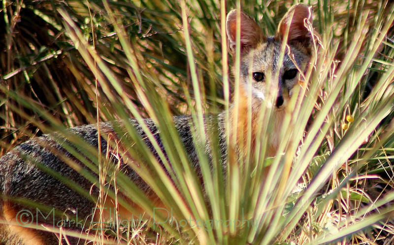Gray Fox in a pasture beside Fritch City Park