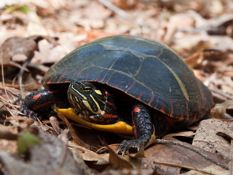 A feisty little eastern painted turtle.  I found it on a busy trail in the Musquash, carried it to a safer spot, took some photos and let it go in a vernal pool.  the resident bullfrog was not happy with the arrangement.