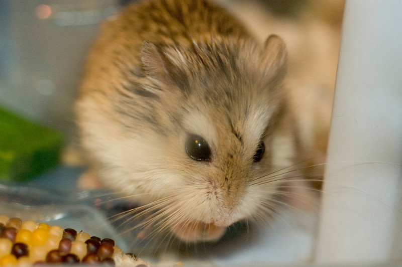 Mama hamster