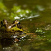 This is a rare treat - a frog who isn't afraid of me.  Usually I just get squeak - splash and no frog.  This one seemed fine with my 90mm macro pointing at her.  I only noticed the mosquito in post.  Poor froggy.