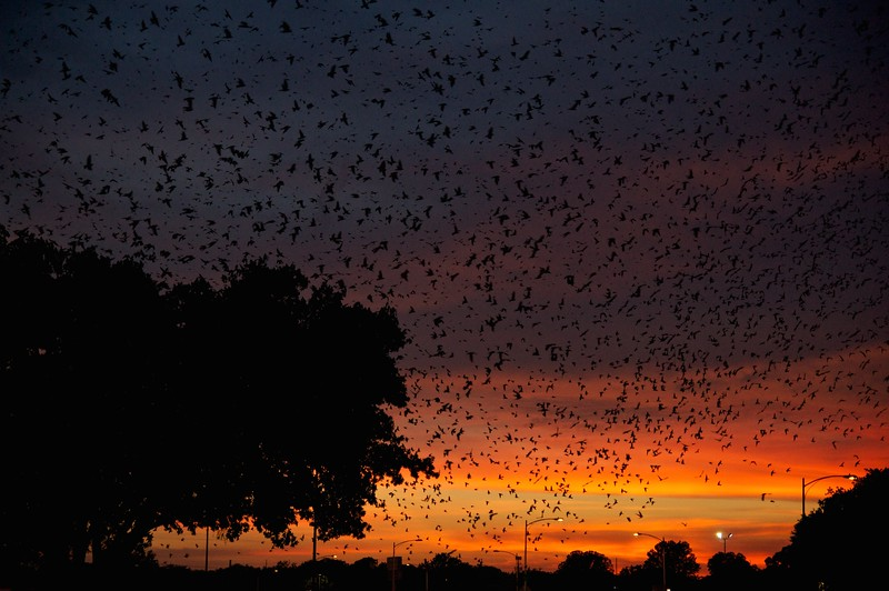 Mass Purple Martins Sunset