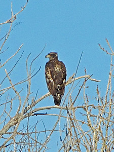 Juvinile Bald Eagle. Coal Creek Arena, Aurora, CO