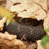 I think this is a watersnake though I found it many yards from water.  It was feisty and looks as if it might need to shed soon.  I didn't disturb it much and so couldn't get a look at all of it under there in the leaf litter.  It is probably 3-4 feet long and its tail did not end in a rattle.  Shot w/the OM 90mm macro at about f4.  Handheld.
