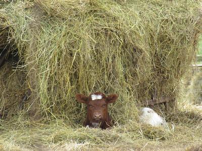 4-15-18: Calf in a haystack