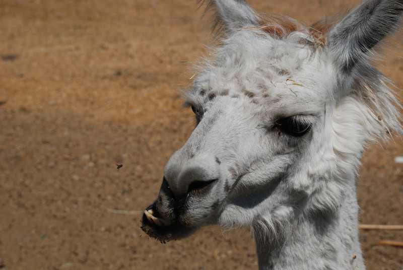 Chewing llama in Calistoga, CA next to a geyser. There's also a fly in this photo that just happened to be in focus.