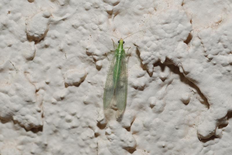 Green bug in Tucson, AZ.