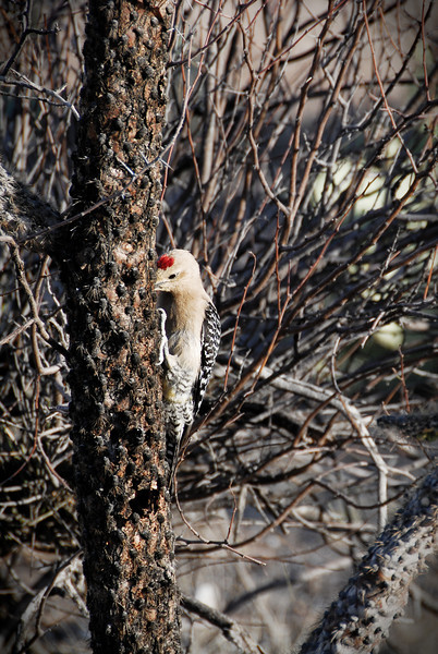 Gila woodpecker in Saguaro National Park East, hunting for insects in a dead cholla cactus.