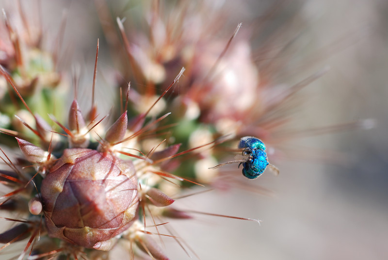 OK, so this was really weird. While hiking in Saguaro NP, I noticed this pretty iridescent fly on some cactus, but upon closer inspection, it realized was dead and appeared to be impaled on a spine. How on earth did this happen?