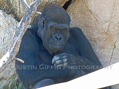 Gorilla. Cheyanne Mountain Zoo, Colorado Springs, CO