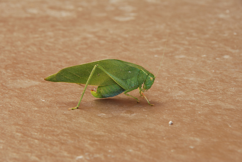 Green katydid that was hanging out on our porch in LA