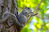 Delmarva Fox Squirrel, Asssateague NWR, VA