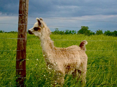 5-22-13: Baby llama, with storm coming