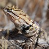 Spiny lizard in Saguaro NP, Tucson. Another photo of this lizard is in the one/day gallery.