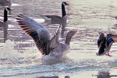 3-10-13: Greylag, in for a landing.