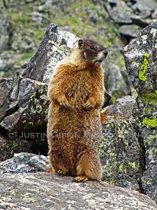 Marmot. Mowhawk Lakes, CO