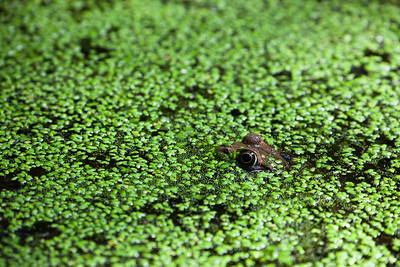 Frog in pond with algae