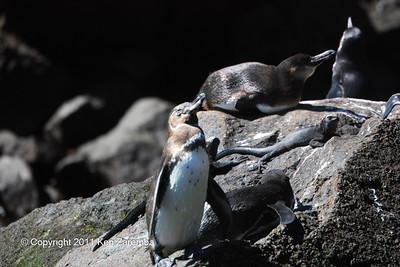 Galapagos Penguins and Marine Iguanas near Punta Vicente Roca, Isla Isabela 11/04/08