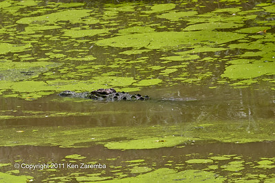 Nile Crocodile in the Ntiakatek river in front of our tented cottage