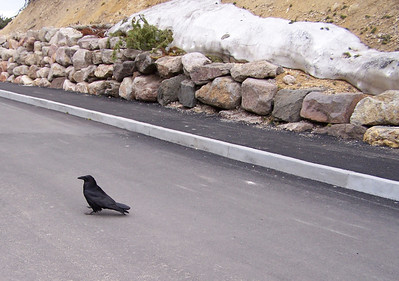 Raven in Yellowstone.