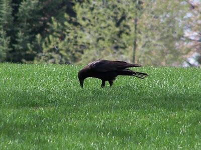 Crow trio, 5.8.08