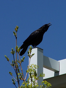 Talking Crow, 5.15.08,Idaho Falls, ID