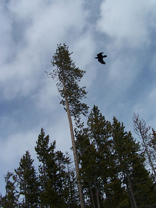 Crow in flight, near West Yellowstone, MT 3.24.08