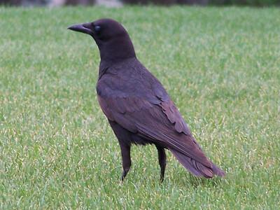 Crow. Idaho.