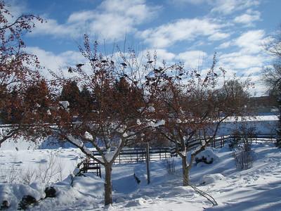 Birds gathering on the barren winter trees along the Snake River. Idaho.