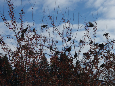 Birds on barren trees. Idaho.