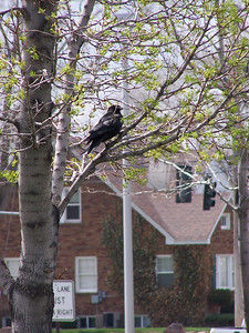 Crow perched, 5.8.08