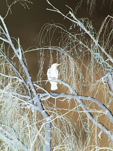 Crow, negative effect applied. Idaho