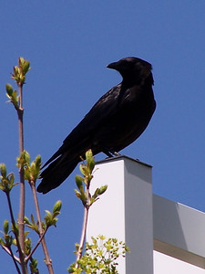 Crow on lamp post. Idaho